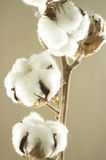 Cotton flower. Detail on brown background Stock Image