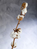 Cotton flower Royalty Free Stock Photo