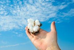 Cotton flower Royalty Free Stock Image