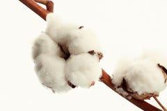 Free Cotton Flower Royalty Free Stock Image - 36347696