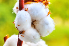 Cotton flower. Cotton balls on the plant, with greenish background, HDR Image Stock Photography