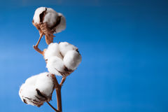 Cotton flower. Close up on blue background Stock Images