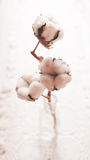 Cotton flower Royalty Free Stock Photo