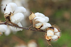 Cotton flower. Close up image with cotton flower Stock Photography