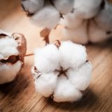 Cotton flower Royalty Free Stock Photography