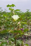 The cotton flower Royalty Free Stock Photography