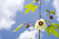 Cotton flower with clouds Royalty Free Stock Images