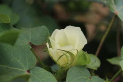 Cotton flower. In the green cotton leaves Royalty Free Stock Photos