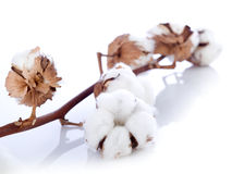 Cotton flower over branch Stock Photos