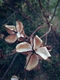 Cotton Flower stock photos