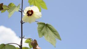 Cotton flower in upper left corner stock video footage