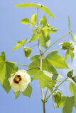Cotton flower in vertical Stock Image
