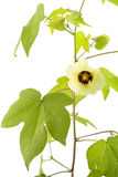 Cotton flower on white in vertical Royalty Free Stock Photo
