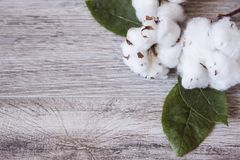 Cotton flowers adorn the white frame. Cotton flowers adorn a white frame on a gray wood background Royalty Free Stock Photography
