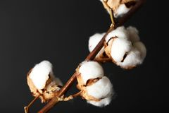 Cotton flowers on background. Cotton flowers on dark background Stock Image