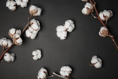 Cotton flowers on background. Cotton flowers on dark background Royalty Free Stock Photo
