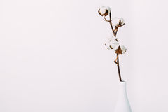 Cotton flowers in the bottle. Cotton flowers in the white vase on the white background. Minimalistic floral composition, copy space Stock Photos