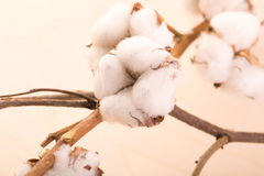 Cotton flowers on a branch  On a wooden background Stock Photo