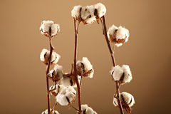 Cotton flowers Stock Image