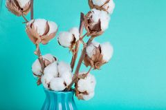 Cotton flowers close up. On turquoise background Stock Photos