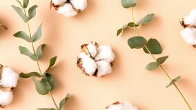 Cotton flowers and eucalyptus on beige background