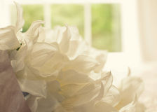 Cotton Flowers in front of a window Stock Image