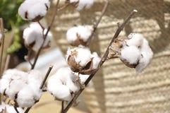 Cotton flowers (Gossypium) Stock Photography