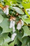 Cotton flowers Royalty Free Stock Photos