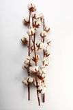 Cotton flowers. On a white background Royalty Free Stock Photo