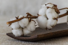 Cotton flowers on wooden plate. Two dry soft cotton flowers on the wooden plate Stock Image