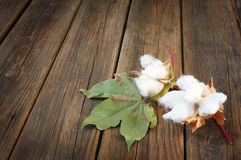 Cotton flowers on wooden rustic table background Royalty Free Stock Photo