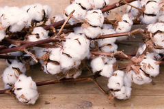 Cotton flowers. Flowers of cotton on a wooden texture Royalty Free Stock Image