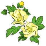 Cotton flowers Stock Image