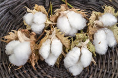Cotton - Gossypium hirsutum L. in basket Stock Image