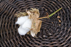 Cotton - Gossypium hirsutum L. in basket Royalty Free Stock Photo
