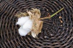 Cotton - Gossypium hirsutum L. in basket Royalty Free Stock Photo