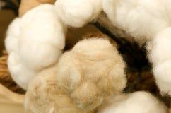 Cotton. (Gossypium hirsutum L.) Stock Image