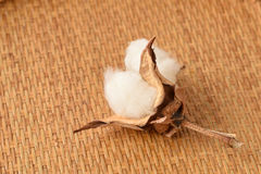 Cotton. (Gossypium hirsutum L.) Stock Photo