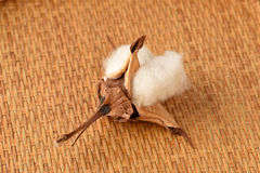 Cotton. (Gossypium hirsutum L.) Royalty Free Stock Photo