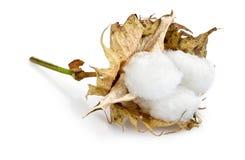 Cotton - Gossypium hirsutum L. on white Stock Photography