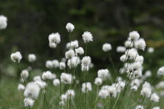 Cotton-grass. (Eriophorum) in a peat bog Stock Images