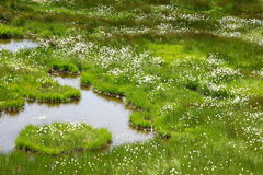 Cotton grass Stock Photos