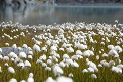Free Cotton Grass Royalty Free Stock Photos - 39095558
