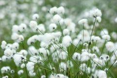 Free Cotton Grass Royalty Free Stock Photos - 63858928