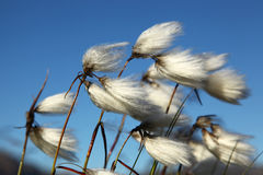 Free Cotton Grass Royalty Free Stock Photography - 93670607