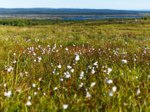 Cotton Grass Royalty Free Stock Photography