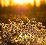 Cotton grass Stock Photography