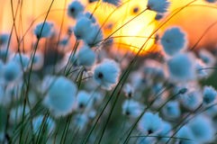 Cotton grass Stock Photography
