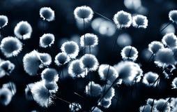 Free Cotton Grass Backlit Royalty Free Stock Photo - 60625825
