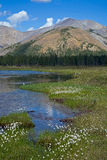 Cotton grass on the bank of the river in a mountain valley. Stock Image